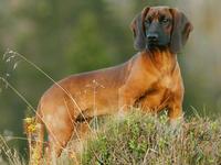 chien-rouge-de-baviere