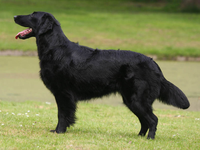 flat-coated-retriever