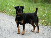 jagd-terrier