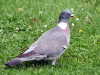 pigeonramier