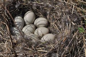 nid-canard-colvert