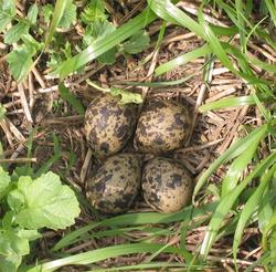 nid-vanneau-huppe