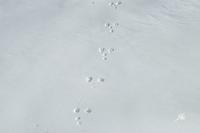 traces-lievre