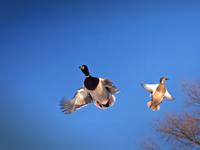 vol-canard-colvert