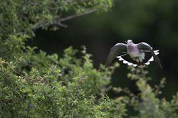 vol-tourterelle-des-bois