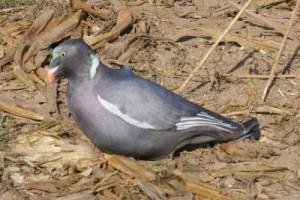 forme-pigeon-avec-chaussette-3d