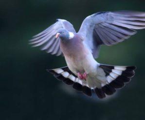 Chasse au pigeon ramier en Irlande avec Star Ireland