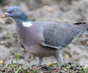 Chasse au pigeon en Angleterre et en Ecosse