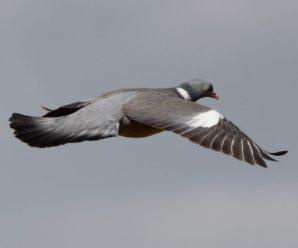 Chasse au pigeon en Irlande
