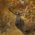 Chasse à l'approche au cerf en Bulgarie